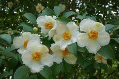 Stewartia pseudocamellia | Japanese Stewartia| plant lust