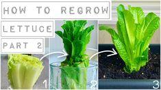 When To Plant Lettuce, Growing Lettuce, Growing Veggies, Growing Plants, How To Regrow Lettuce, Regrow Vegetables, Gardening Vegetables, Vegetable Gardening, Gardens