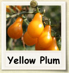 How to Grow Yellow Plum Tomato Yellow Plums, Yellow Tomatoes, Backyard Projects, Gardening Tips, Outdoor Gardens, Lawn, Fruit, Watch, Plants