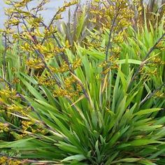Native flax mountain green for the native bee garden Types Of Grass, Types Of Soil, Hello Hello Plants, New Zealand Flax, Seed Raising, Tall Shrubs, Architectural Plants, Cactus, Australian Native Flowers
