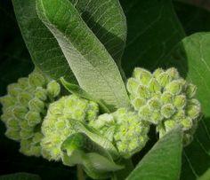 Asclepias syriaca - Papegaaiplant / zijdeplant De knoppen zijn zichtbaar.