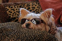 anim, yorkie, weight loss, pet, easter eggs