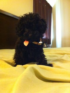 My cute toy poodle puppy :)