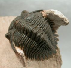 "Metacanthina issoumourensis Moroccan Trilobite  Previously known variously as ""Asteropyge"" and as ""Kayserops"""