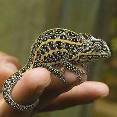 Jewelled chameleon, Furcifer campani, probably a male. Pereyras Nature Farm, Marozevo, Madagascar