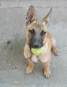 Este es mi perro Lobi,tiene 1 año,lo encontramos con 1 mes y medio mas o menos en un solar abandonado,tiene mezcla de pastor con pitbull.