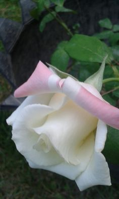 Beautiful Rose Flowers, Pretty Roses, Romantic Roses, Beautiful Gardens, Beautiful Flowers, Rose Pictures, Flower Photos, White Roses, Pink Roses