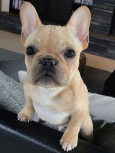 Alfie, the French Bulldog Puppy