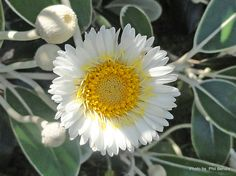 Taranaki Educational Resource: Research, Analysis and Information Network - Pachystegia insignis (Marlborough rock daisy) Green Plants, Native Plants, Cool Kids, Daisy, Rock, Education, Nature, Kiwi, Encouragement