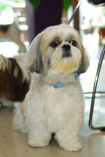 ... toy more shihtzus singapore pets cute hair hair cut styles haircut