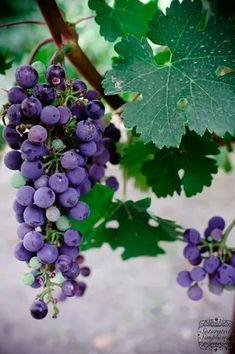 How to Prune Grape Vines for Fruit Development - Garden