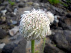 (DG- FF3) western anemone