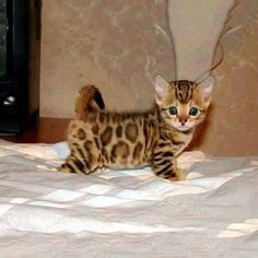 """Tiny Bengal Kitten..."" Snapchat: hellometa"