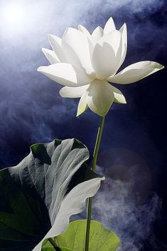 White Lotus Flower                                                                                                                                                                                 More
