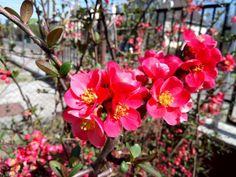 A japánbirs (Chaenomeles japonica) egy csodálatos növény: tavasszal díszcserje, ősszel vitaminbomba. Kikeletkor virágzó cserjeként szépségével, ősszel pedig vitamindús gyümölcseivel ajándékozza meg a kerttulajdonosokat. Bár kevesen tudják, de a japánbirs termése ehető. A kissé fanyar... The post Japánbirs (Chaenomeles japonica), a csodálatos díszcserje appeared first on Balkonada. Spring, Health, Flowers, Plants, Chaenomeles, Gardening, Health Care, Lawn And Garden, Bokeh