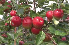 Apples grow abundantly in Ireland and yet are not to be found in Lidl. The company claims to have many Irish suppliers however