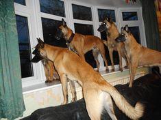 Malinois on lookout