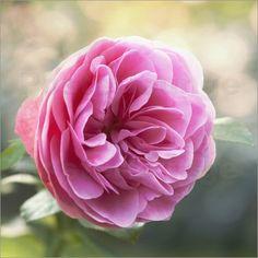 Poster Rose im Gegenlicht