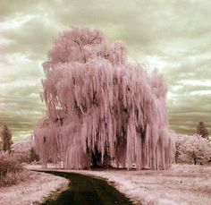 Pink willow~