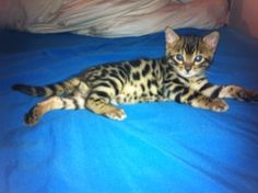 Available male bengal kitten. Bengal Kittens For Sale, Kitten For Sale, Pets, Sweet, Personality, Coat, Beautiful, Animals, Animals And Pets
