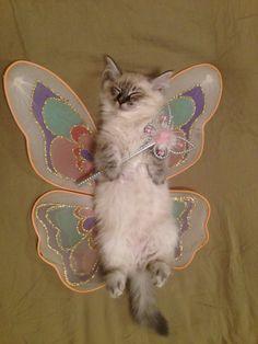 Neva Masquerade Katze als Fee Grey white tabby pointed cat as a fairy  funny cat