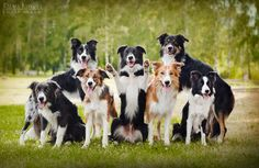 How on earth did the photographer get all these border collies to sit still TOGETHER long enough to get a picture!?!