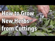 How to Grow New Herbs from Cuttings