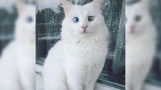 SNOW-WHITE CAT HAS THE MOST MAGICAL BLUE AND GREEN EYES