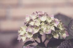 Purple Hortensia by Desirae @ Not so ugly ducklings