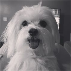 So happy Cute Puppies, Cute Dogs, Dogs And Puppies, Doggies, Teacup Maltese, Maltese Dogs, Cute Puppy Pictures, Animal Pictures, Love Pet