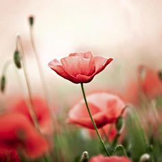 Coquelicot madame... #fragrance #flowers #garden