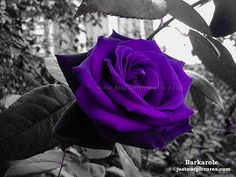 Purple Rose by TerryPotter on DeviantArt
