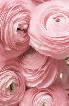hot pink ranunculus the sisters to peonies Pretty Flowers, Pink Flowers, Ranunculus Flowers, Pink Roses, Pink Petals, Lavender Flowers, Pink Peonies, Amazing Flowers, Paper Flowers