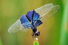 Resultado de imagen de dragonfly