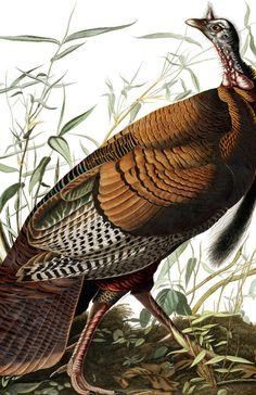 Wild Turkey | Audubon