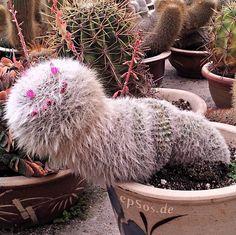 ¡El cactus que huye! Quizás la pobre planta quiera salir a descubrir el mundo. Descubre su historia en: http://www.vitasalud.com/cactus  ¡Disfruta del día con una sonrisa!  #fotodivertida #humor #sonrisas #botanica #plantas #naturismo #productosnaturales #alimentacionsana