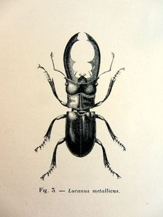 1860 Antique Stag beetle engraving original by LyraNebulaPrints