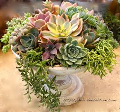 To create the composition shown here, the designer chose a white-painted wooden urn 12 inches in diameter and 8 inches tall, with a basin 3 inches deep. Plants include 'Sunburst' aeonium, Echeveria…