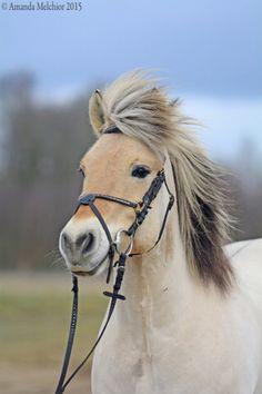 this horse looks like what a breath of fresh air feels like! Norwegian Fjord horse.