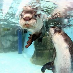 Mother Otter Keeps a Close Eye on Her Pup During Swimming Lessons 2