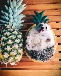 VSCO - I have an obsession with hedgehogs | jennifer332100