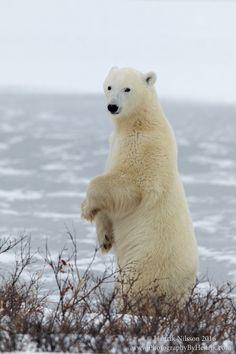 A Better View - A polar bear near Churchill Manitoba stands up for a better view.