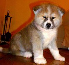 Beautiful Brown / White Akita #dog #akita #animal Skye Terrier, Terriers, Spitz Breeds, Japanese Akita, Akita Puppies, American Akita, Rainbow Bridge, Inu, Dog Life