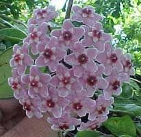 flor de cera, hoya carnosa
