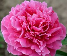 """Large 7"""" very fragrant blooms held on strong stems. Cerise-rose blooms on compact, well structured plants. Size: 24"""". Bloom time: Late. Pla..."""