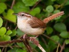 Carolina Wren - one of my favorite backyard birds.  I esp. love watching them at the window scolding my indoor cats.  Feisty!