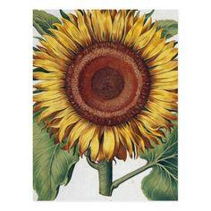 Shop Sunflower floral illustration postcard created by antiqueart. Sunflower Garden, Sunflower Flower, Yellow Sunflower, Sunflower Pattern, Sunflower Illustration, Botanical Illustration, Vincent Van Gogh, Sunflower Drawing, Beautiful Drawings