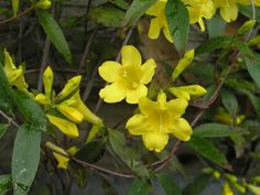 Yellow jessamine, our state flower - photo by South Carolina State Parks