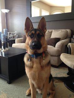 Our amazing German Shepherd, Indy.
