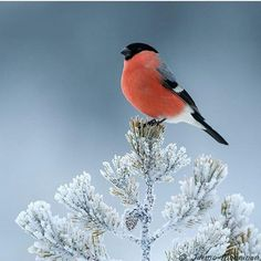 Eurasian bullfinch Photo @jarmo.manninen